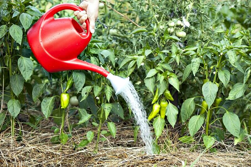 Урожай перца - нужны поливы и подкормка
