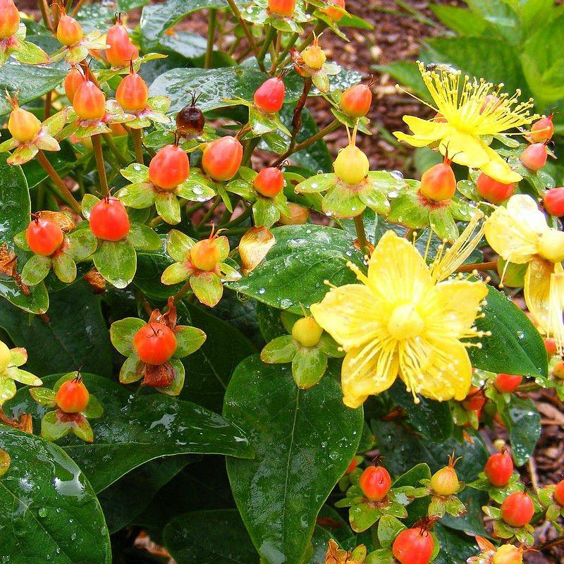 Зверобой кустарниковый - цветы и плоды