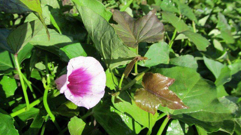 Батат- цветы и листья