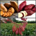 Батат - плод долголетия