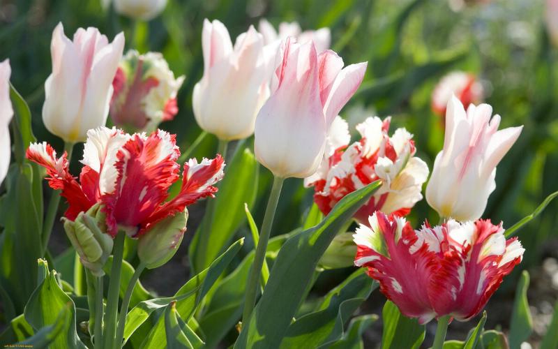 Для пышного цветения - выкапывайте луковицы тюльпанов ежегодно