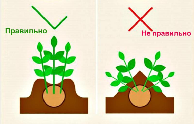 Как правильно сделать окучивание картофеля