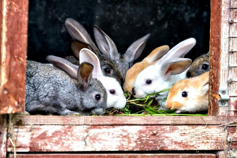 Кормление кроликов травой