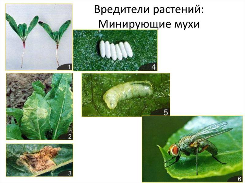 Минирующая муха