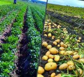Окучивание картофеля: как на самом деле это правильно сделать