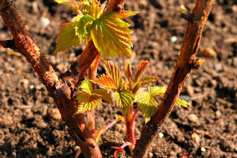 Подкормки малины весной