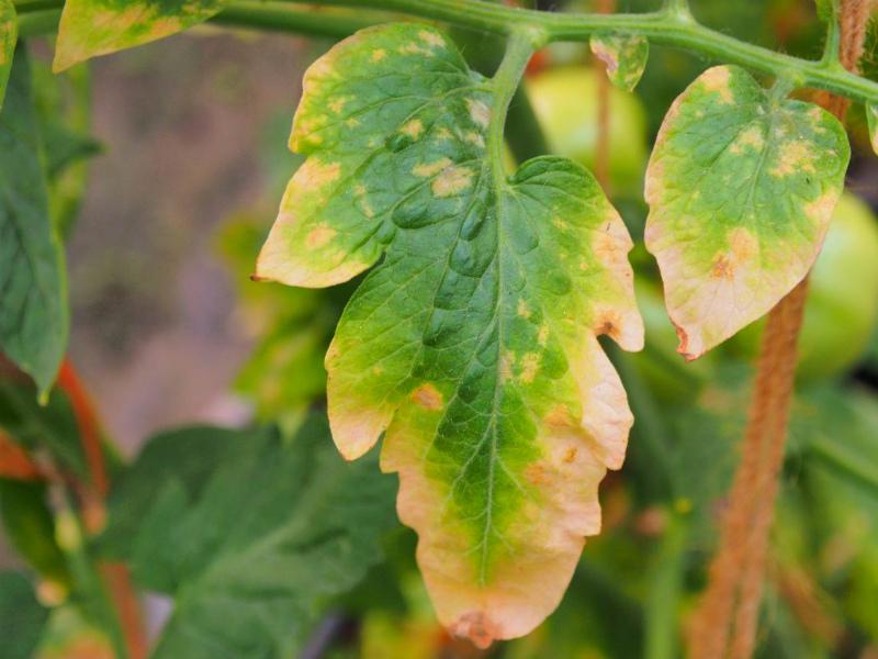 Пожелтели края листьев томатов
