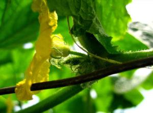 Почему появляются пустоцветы на огурцах и как от этого уйти