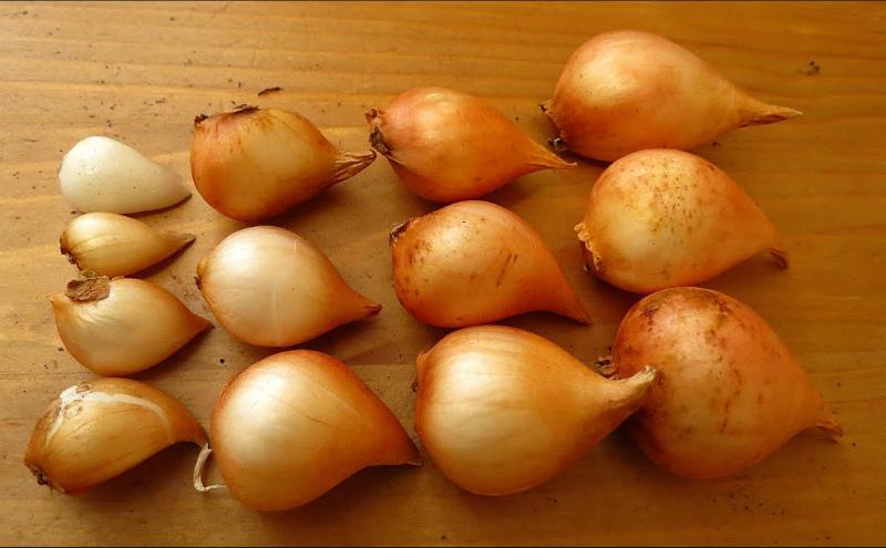 Разбираем луковицы тюльпанов по размерам
