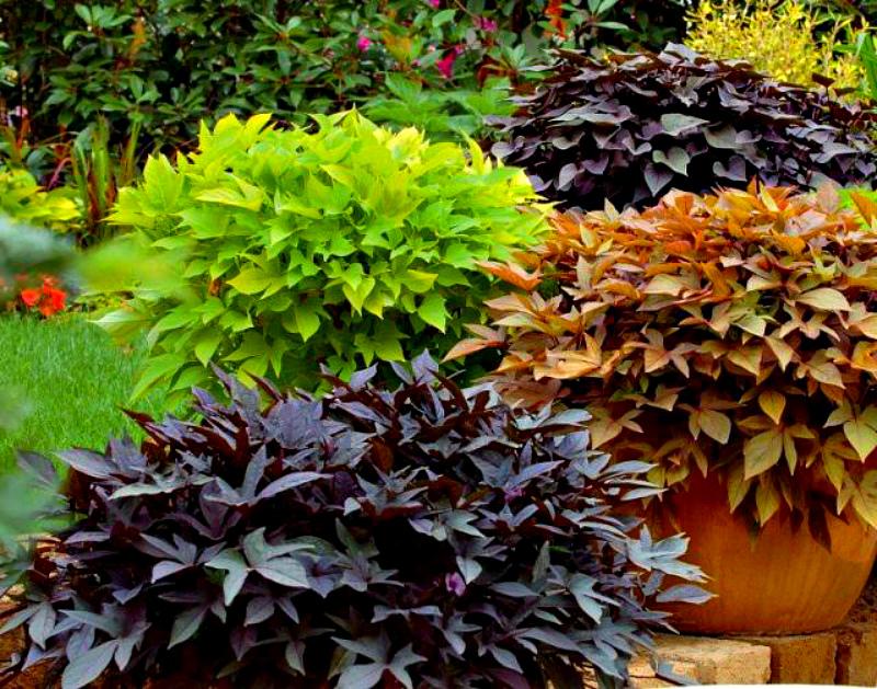 Разноцветные листья батата