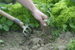 Сорняки на грядке