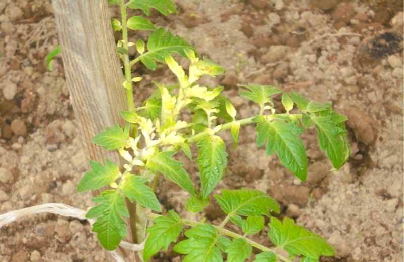 Выращивание томатов - пожелтели верхние листья