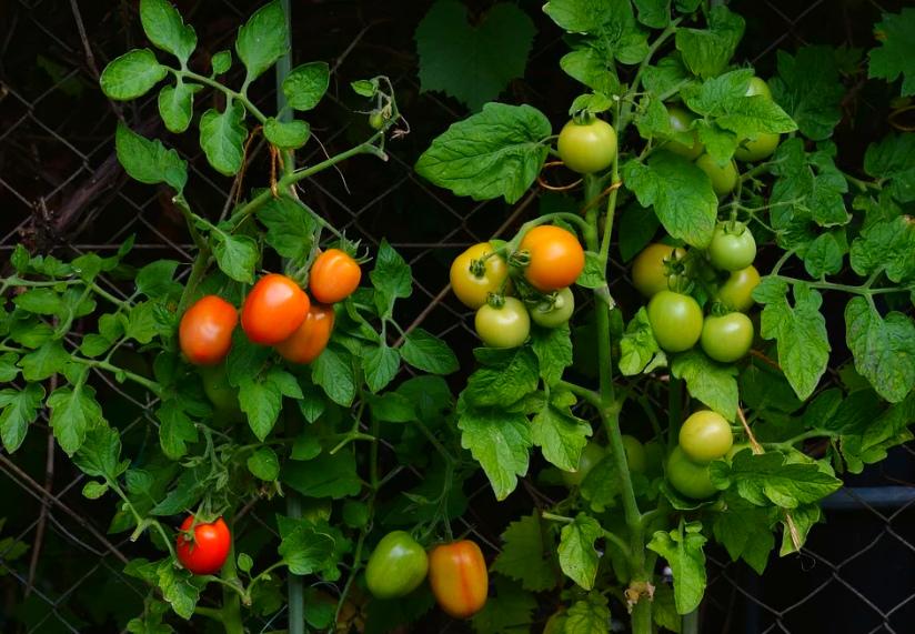 Выращивание томатов в огороде