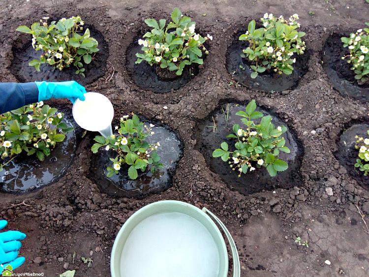 Чтобы повысить урожайность клубники проведите подкормки