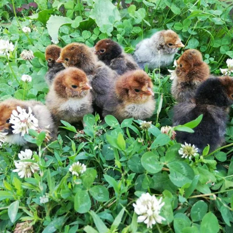 Цыплята на травке
