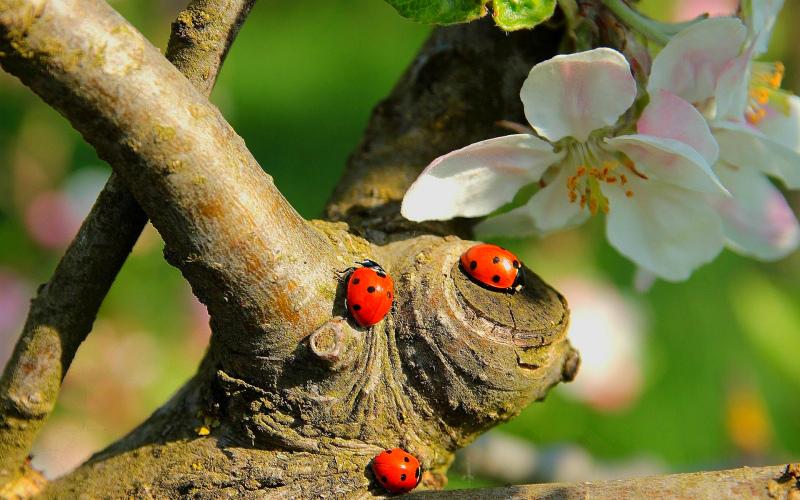 Коровки весной на дереве