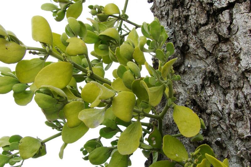 Молодое растене омелы на коре дерева
