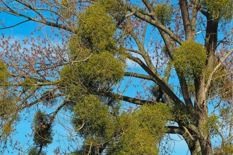 Паразит на дереве