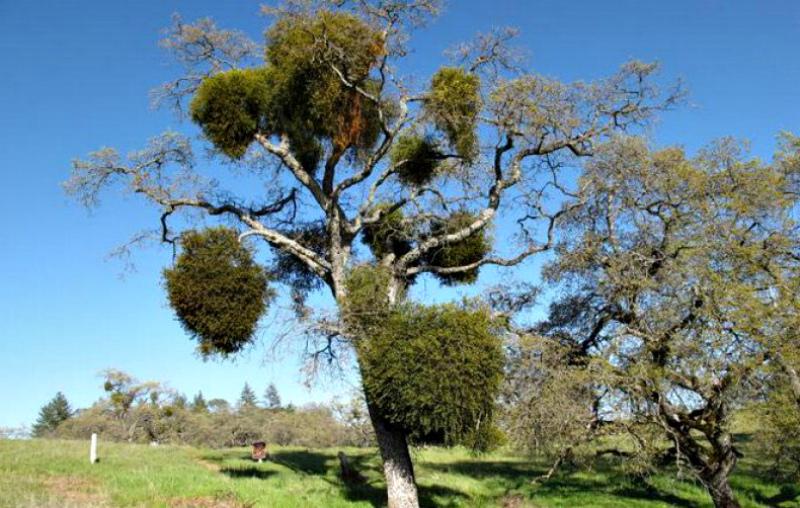 Пораженные деревья