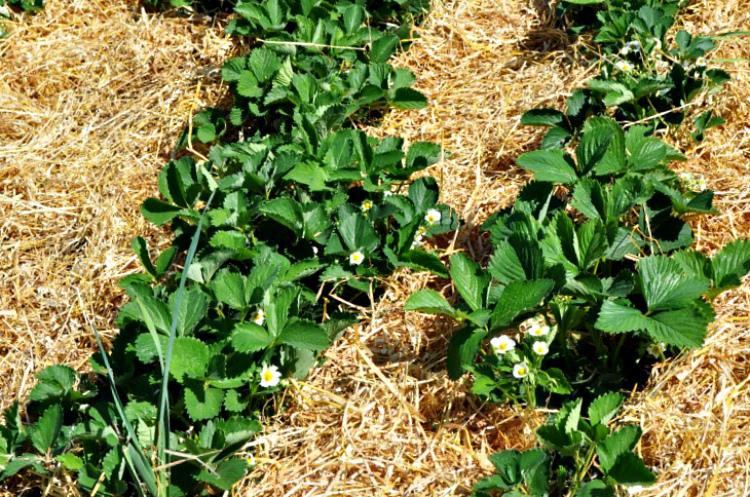 Повышаем урожайность клубники