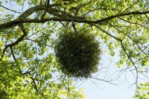 Вечнозеленая омела
