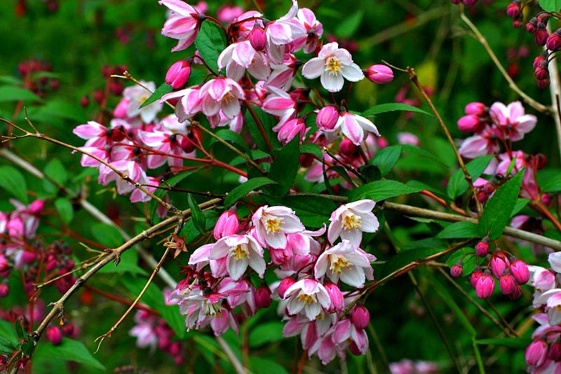 Дейция, цветы