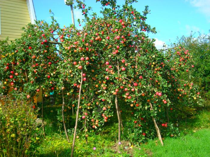 Подпорки под ветви с плодами