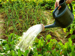 Полив растений на грядке