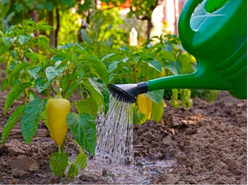 Полив растений перца