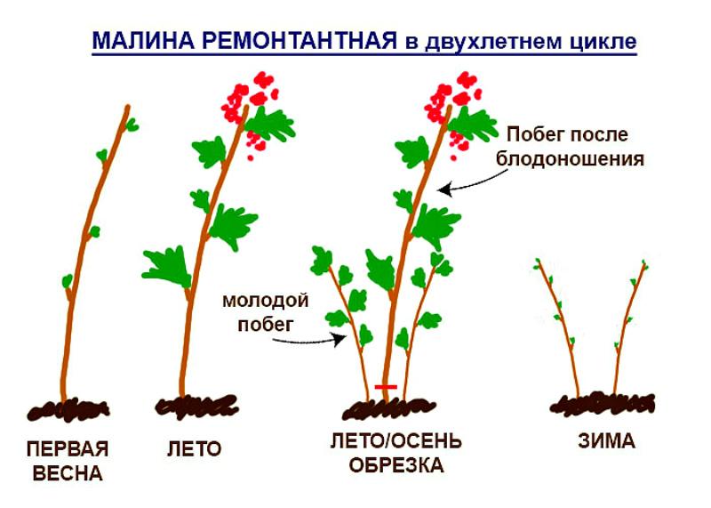 Уход за ягодниками - малина в двухлетнем цикле