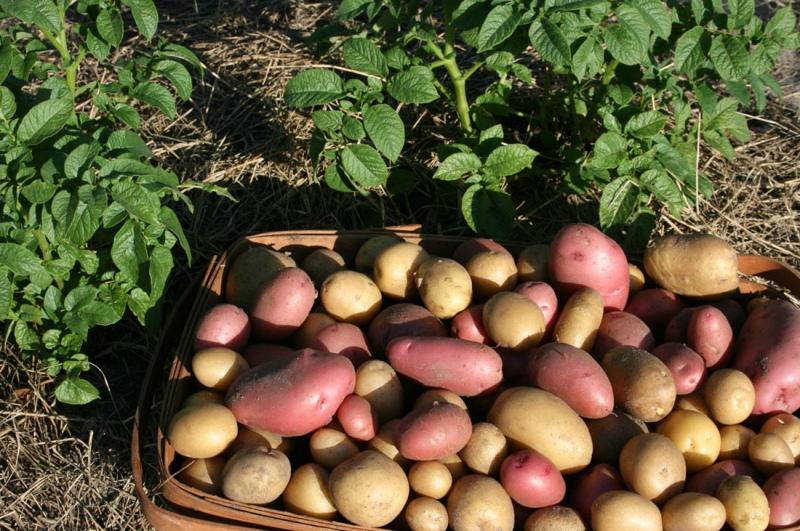 Что сделать в августе - копать картошку