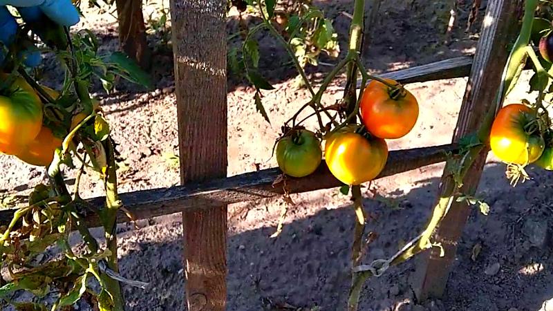 Что сделать в августе - убирать томаты