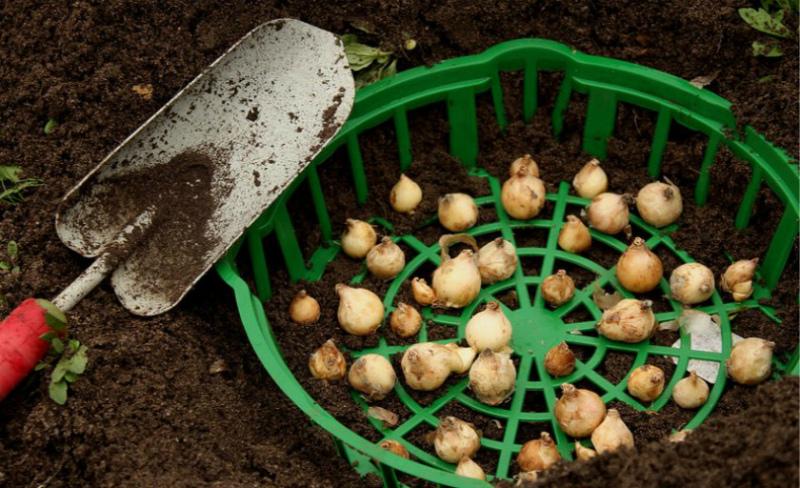 Что сделать в цветнике - сажать луковичные