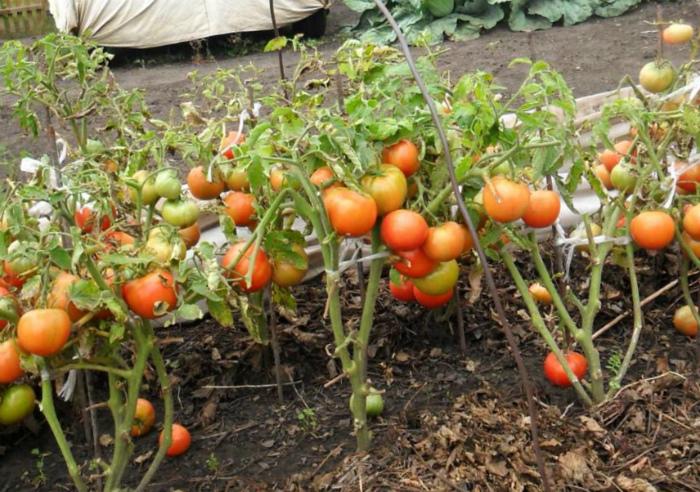 Дозревание томатов открытого грунта