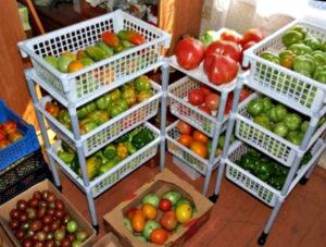 озревание томатов в домашних условиях