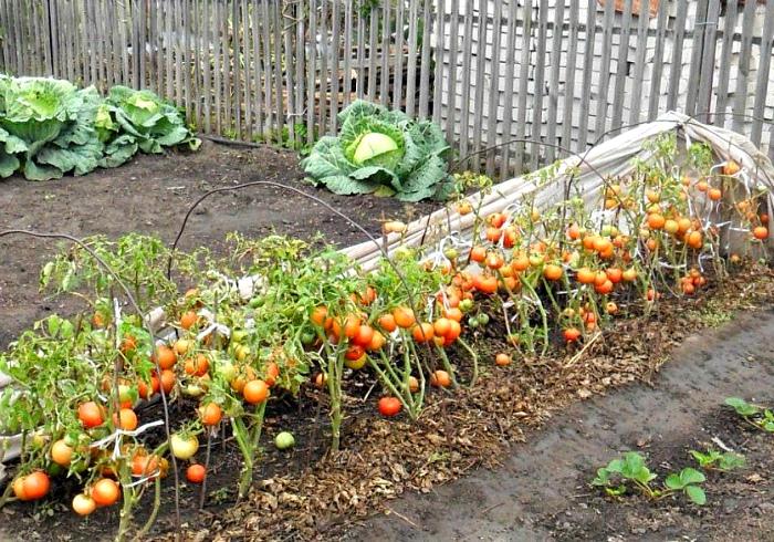Осенняя грядка с томатами