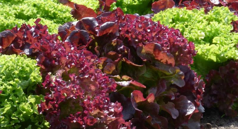 Посеять в августе салат Жар-птица