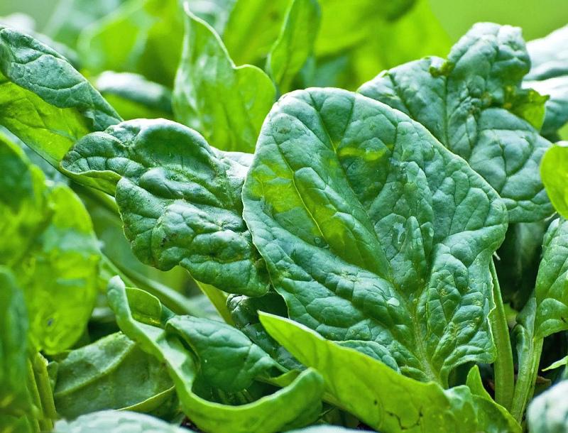 Посеять в августе - шпинат