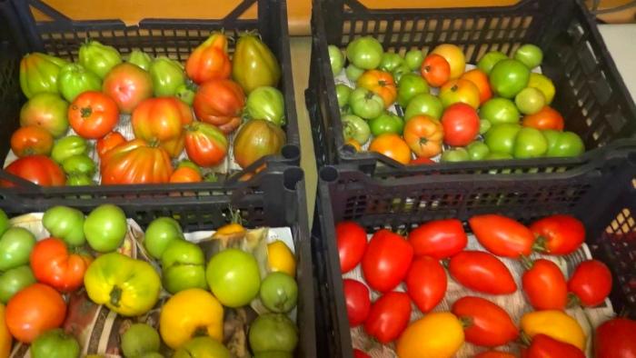 Рассортировать и отправить на дозревание томатов