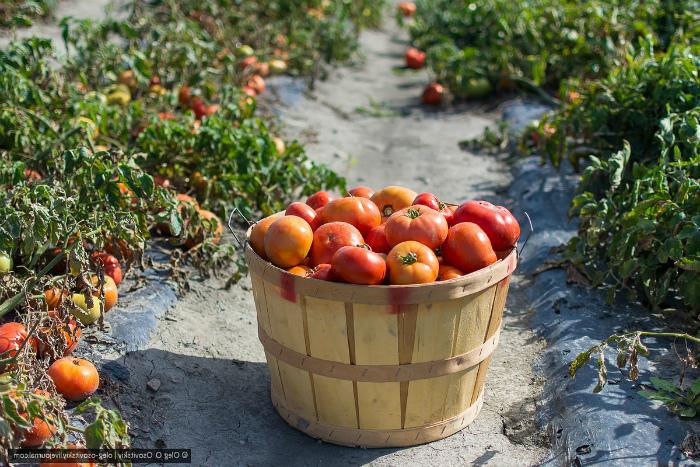 Сбор помидоров