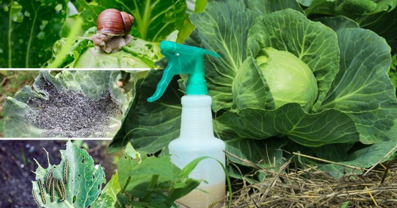 Защищаем капусту