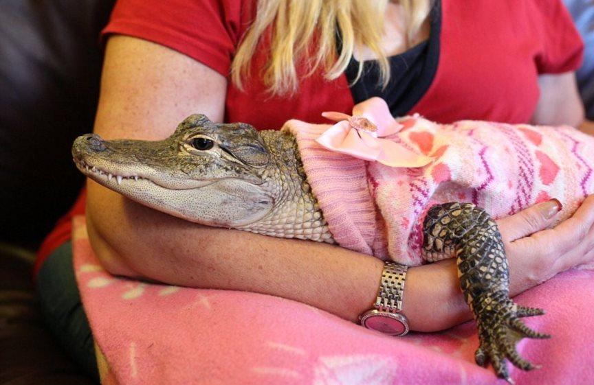 Домашние животные, крокодил