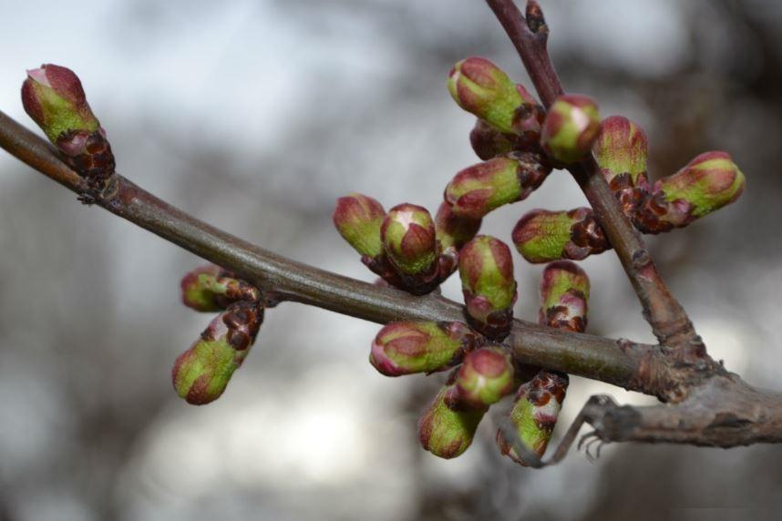 Сад в апреле, почки