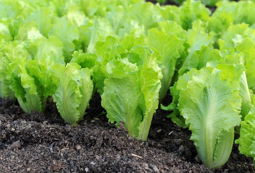 Салат-латук на грядке